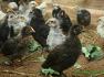 제주 자연축산 유정란생산 자급자족 노후준비 병아리키우기와 닭사육장 준비-36