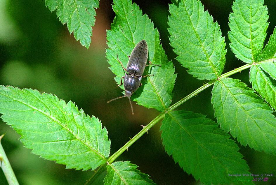 검정빗살방아벌레